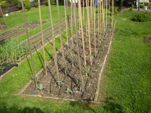 Typické použití kapkové závlahy v zeleninovém záhonu