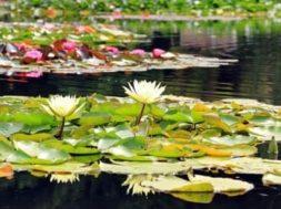 Vodní rostliny vhodné do zahradního jezírka