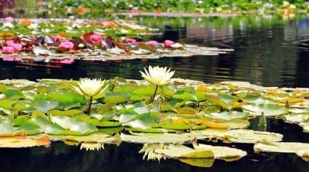 vodní rostliny zahradní jezírko